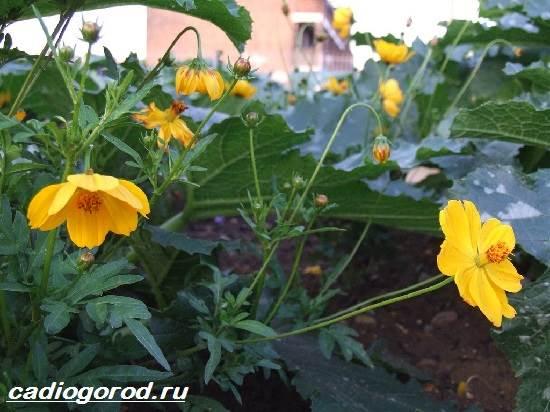 Космея-цветок-Описание-особенности-виды-и-уход-за-космеей-9