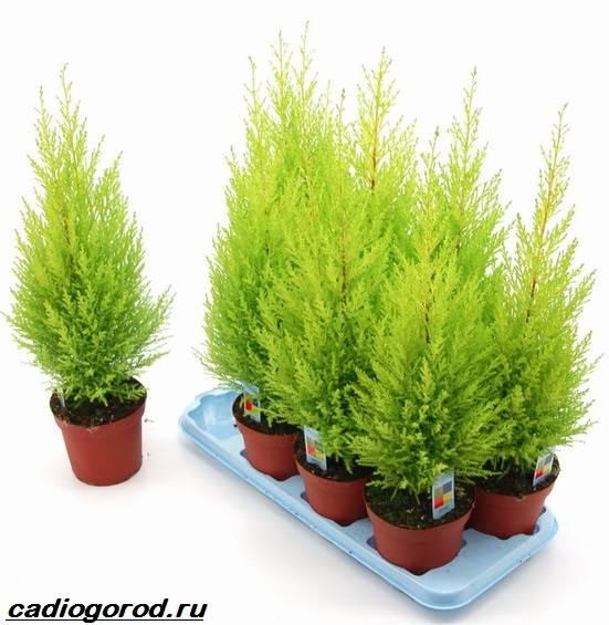 Купрессус-растение-Описание-особенности-виды-и-уход-за-купрессусом-1
