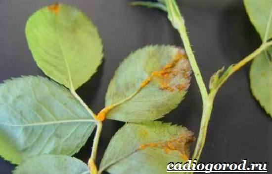 Левкой-цветок-Описание-особенности-виды-и-уход-за-левкоем-15