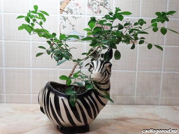 Мурайя-цветок-Описание-особенности-виды-и-уход-за-мурайей-11