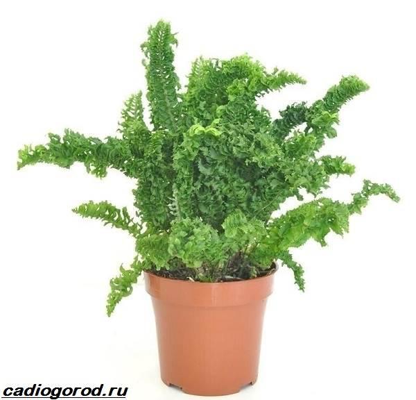 Нефролепис-папоротник-растение-Описание-особенности-виды-и-уход-за-нефролеписом-8