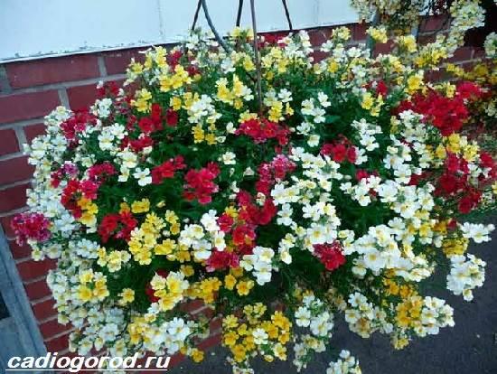 Немезия-цветок-Описание-особенности-виды-и-уход-за-немезией-11