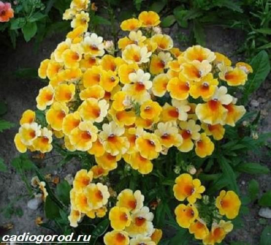 Немезия-цветок-Описание-особенности-виды-и-уход-за-немезией-5