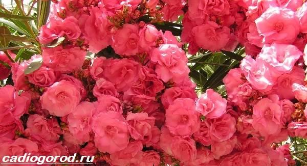 Олеандр-цветок-Описание-особенности-виды-и-уход-за-олеандром-6
