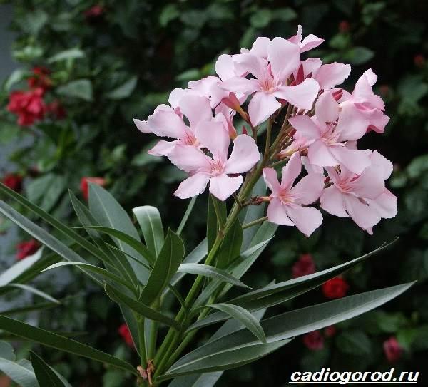 Олеандр-цветок-Описание-особенности-виды-и-уход-за-олеандром-9