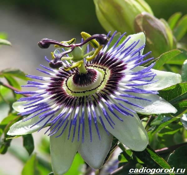 Пассифлора-цветок-Описание-особенности-виды-и-уход-за-пассифлорой-1