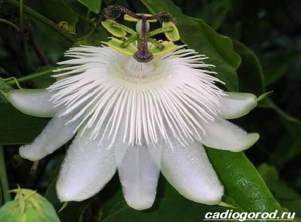 Пассифлора-цветок-Описание-особенности-виды-и-уход-за-пассифлорой-4