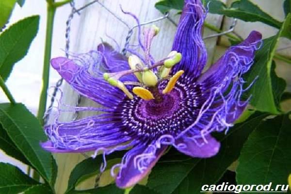 Пассифлора-цветок-Описание-особенности-виды-и-уход-за-пассифлорой-5