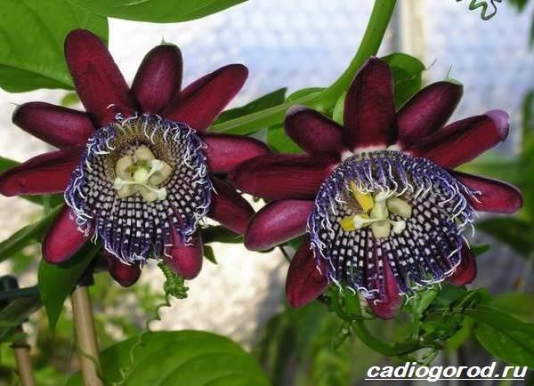 Пассифлора-цветок-Описание-особенности-виды-и-уход-за-пассифлорой-8