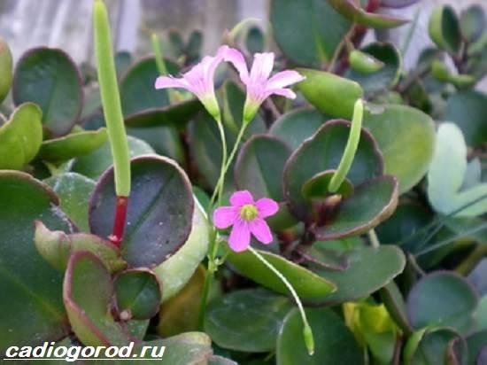 Пеперомия-цветок-Описание-особенности-виды-и-уход-за-пеперомией-8