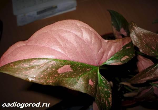 Сингониум-цветок-Описание-особенности-виды-и-уход-за-сингониумом-11