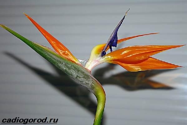 Стрелиция-цветок-Описание-особенности-виды-и-уход-за-стрелицией-3
