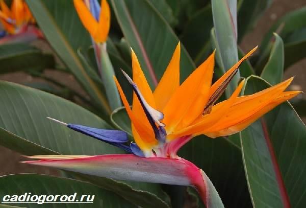 Стрелиция-цветок-Описание-особенности-виды-и-уход-за-стрелицией-5