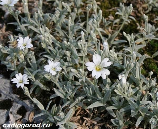 Ясколка-войлочная-цветок-Описание-особенности-виды-и-уход-за-ясколкой-войлочной-6
