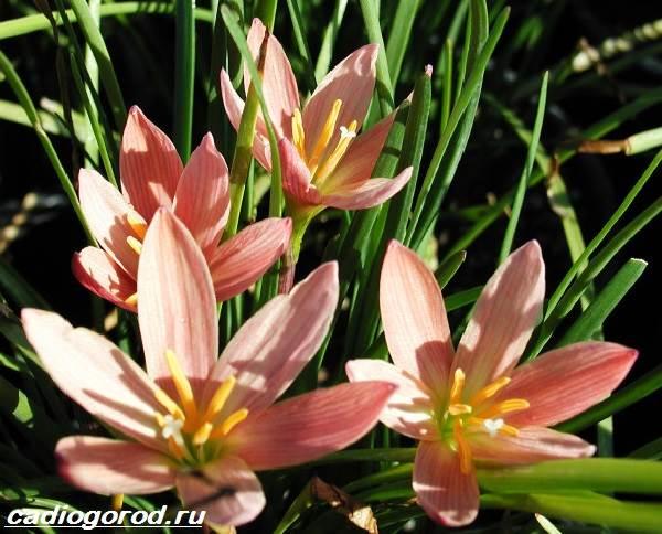 Цветок зефирантес фото