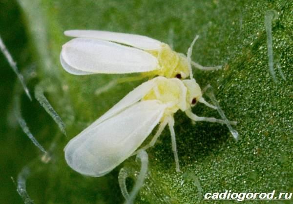 Брахикома-цветы-Описание-особенности-виды-и-уход-за-брахикомой-16