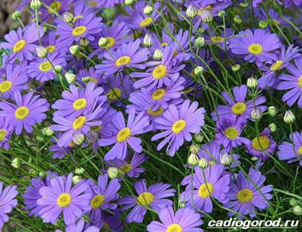 Брахикома-цветы-Описание-особенности-виды-и-уход-за-брахикомой-2