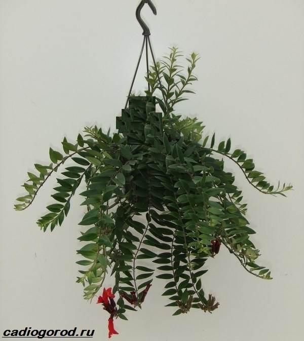 Эсхинантус-цветок-Описание-особенности-виды-и-уход-за-Эсхинантусом-4