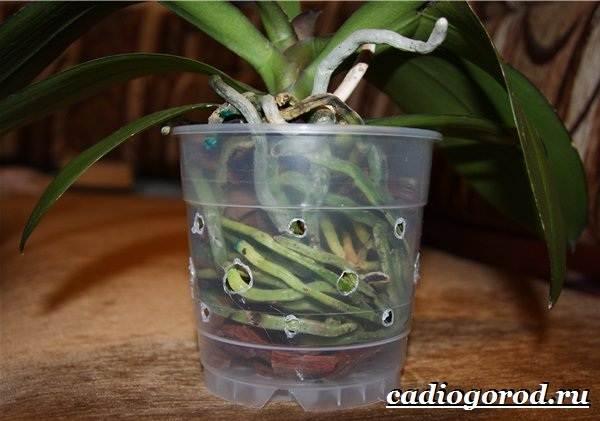 Фаленопсис-цветок-Описание-особенности-виды-и-уход-за-фаленопсисом-16