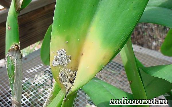 Фаленопсис-цветок-Описание-особенности-виды-и-уход-за-фаленопсисом-22