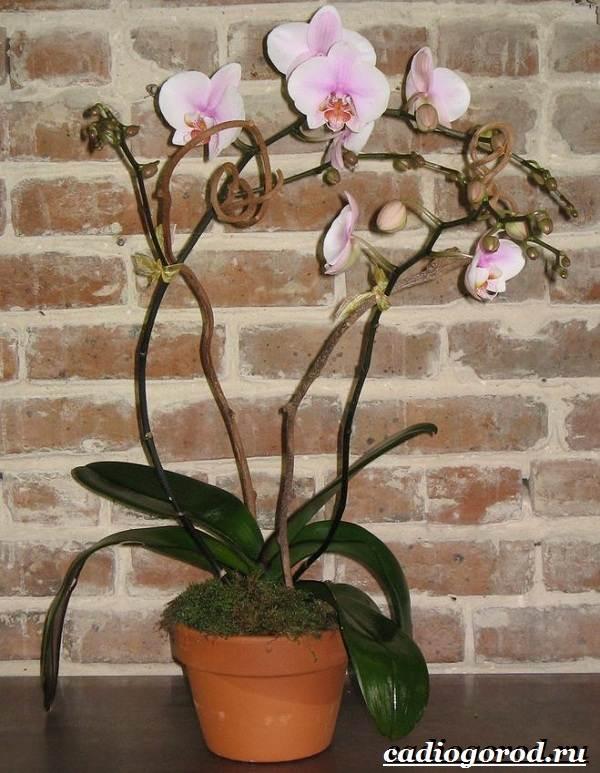 Фаленопсис-цветок-Описание-особенности-виды-и-уход-за-фаленопсисом-3