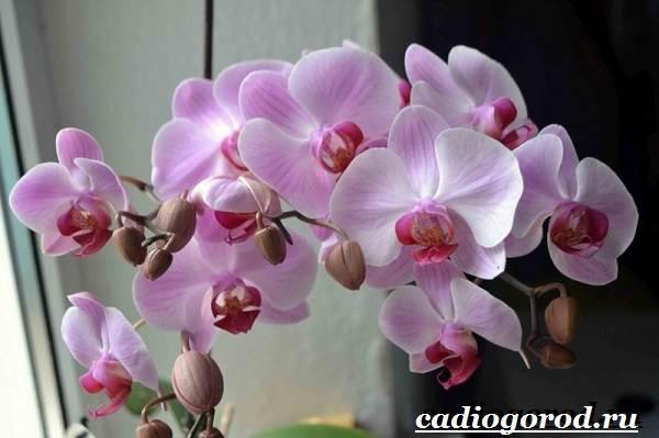 Фаленопсис-цветок-Описание-особенности-виды-и-уход-за-фаленопсисом-5