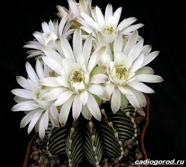 Гимнокалициум-цветок-Описание-особенности-виды-и-уход-за-гимнокалициумом-9