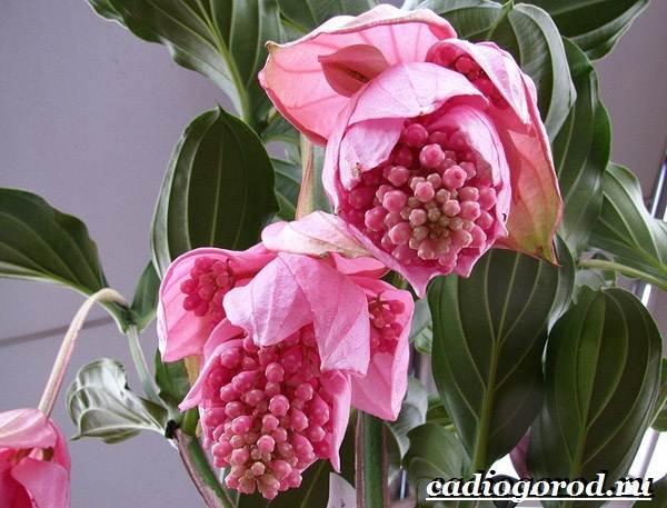 Мединилла-цветок-Описание-особенности-виды-и-уход-за-Мединиллой-3