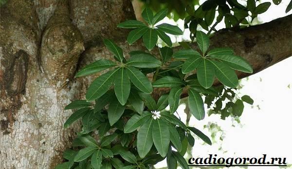 Пахира-цветок-Описание-особенности-виды-и-уход-за-пахирой-8