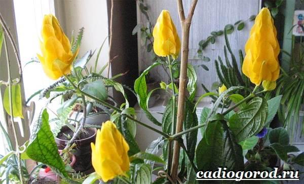 Пахистахис-растение-Описание-особенности-виды-и-уход-за-пахистахисом-17