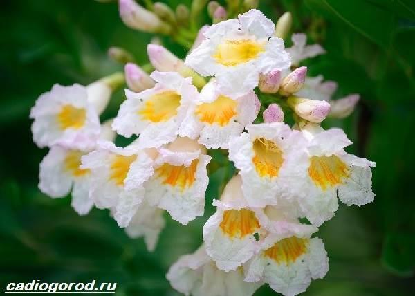 Радермахера-цветок-Описание-особенности-виды-и-уход-за-радермахерой-8
