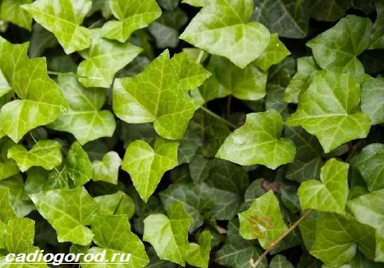 Хедера-цветок-Описание-особенности-виды-и-уход-за-хедерой-8