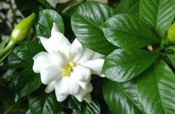 Гардения-цветок-Описание-особенности-уход-и-цена-гардении-25