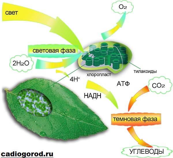Что-такое-фотосинтез-Описание-особенности-фазы-и-значение-фотосинтеза-2