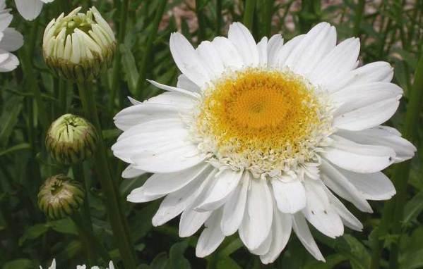 Нивяник-цветок-Описание-особенности-виды-и-уход-за-нивяником-12