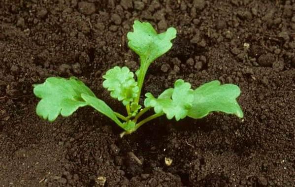 Нивяник-цветок-Описание-особенности-виды-и-уход-за-нивяником-18
