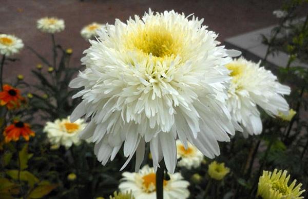 Нивяник-цветок-Описание-особенности-виды-и-уход-за-нивяником-27