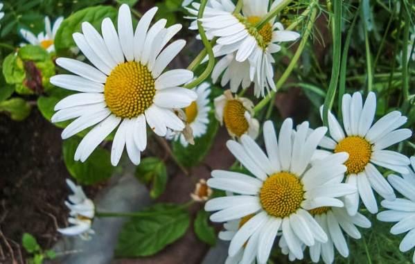 Нивяник-цветок-Описание-особенности-виды-и-уход-за-нивяником-5