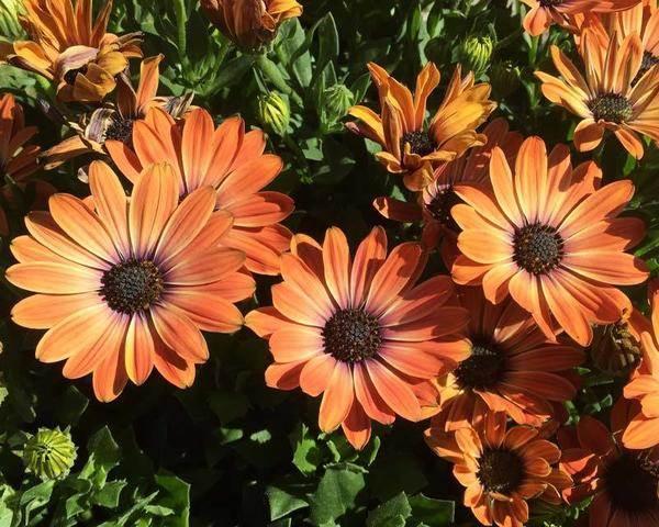 Диморфотека-цветок-Описание-особенности-виды-и-выращивание-диморфотеки-1