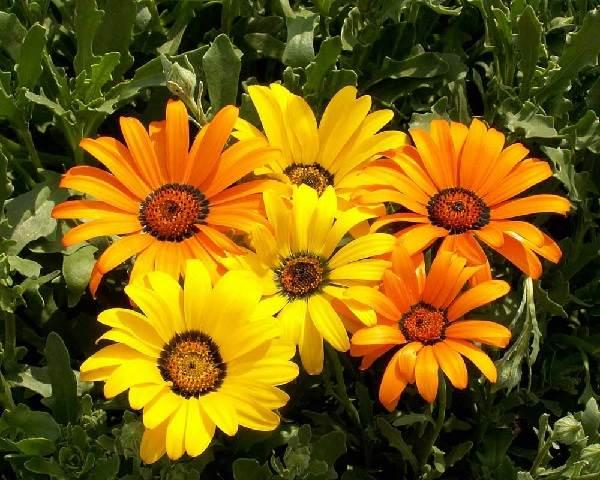 Диморфотека-цветок-Описание-особенности-виды-и-выращивание-диморфотеки-4
