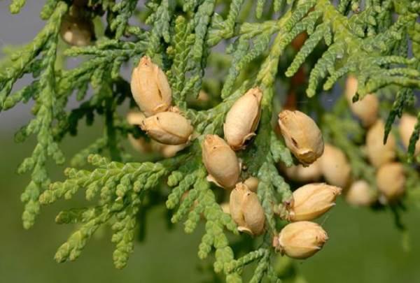 Туя-смарагд-дерево-Описание-особенности-посадка-и-уход-за-туей-смарагд-10