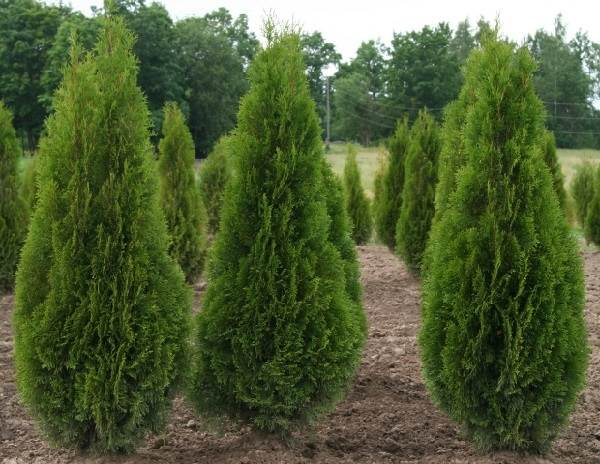 Туя-смарагд-дерево-Описание-особенности-посадка-и-уход-за-туей-смарагд-6