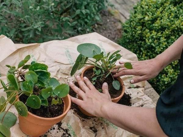 Пилея-растение-Описание-особенности-виды-и-выращивание-пилеи-7