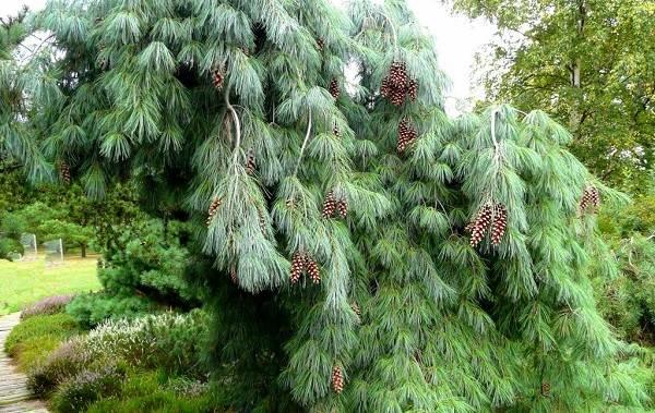 Сосна-гималайская-дерево-Описание-особенности-виды-посадка-и-уход-10