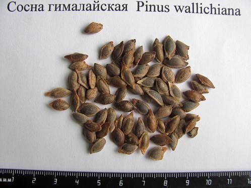Сосна-гималайская-дерево-Описание-особенности-виды-посадка-и-уход-7