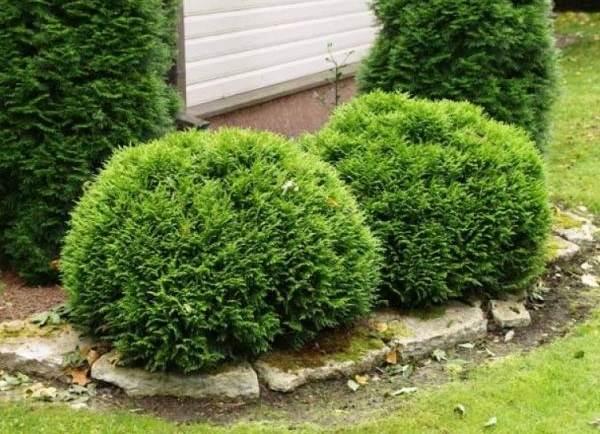 Туя-шаровидная-дерево-Описание-особенности-виды-посадка-и-уход-2