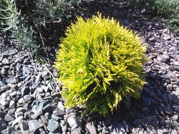 Туя-шаровидная-дерево-Описание-особенности-виды-посадка-и-уход-5