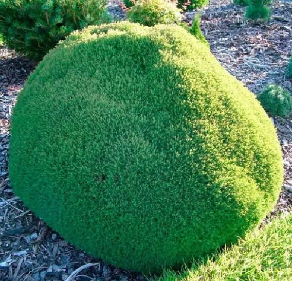 Туя-шаровидная-дерево-Описание-особенности-виды-посадка-и-уход-7