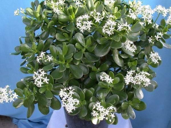 Крассула-Овата-растение-Описание-особенности-уход-и-выращивание-Крассула-Овата-9