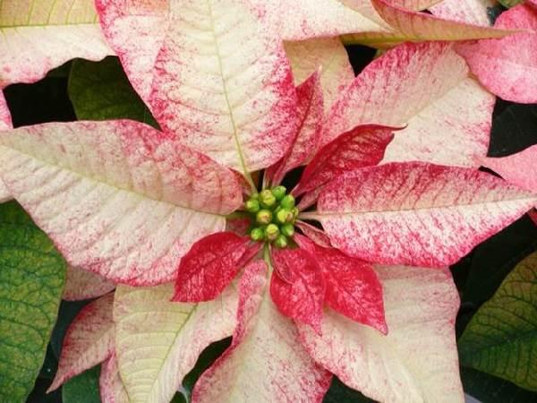 Пуансеттия-цветок-Описание-особенности-виды-и-выращивание-паунсеттии-9